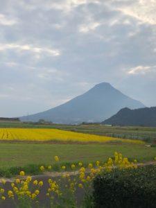 菜の花畑の向こうに開聞岳
